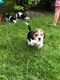 توله سگ های پر زرق و برق زیبا