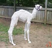 White Camel,Donkey and Zebra Calves for Sale.