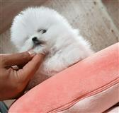 Mini Pomeranian Toy