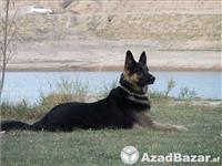 German dog