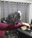 African Grey Parrots male and female