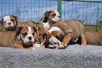 Femra e bukur dhe bulldog angleze femra dhe meshku