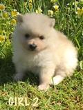 توله سگ های Pomeranian زیبا برای فروش