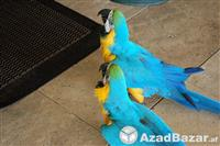 Parrots for sale at affordable prices.