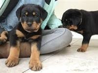 د پلور لپاره Rottweiler Puppies