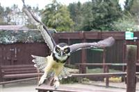 Male and female Spectacled Owls