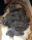Kittens britanik blu të shkurtër